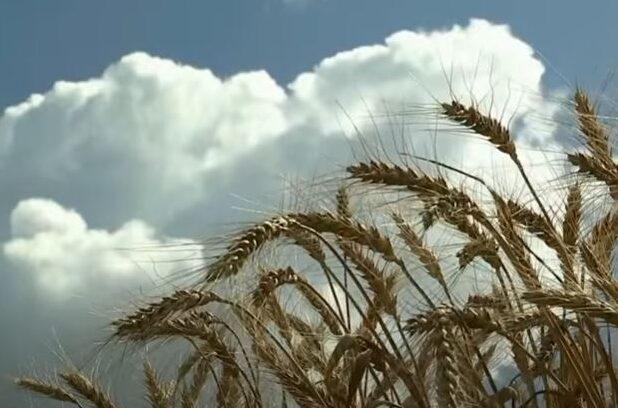 Минсельхоз сша уменьшил прогноз по урожаю пшеницы в рф